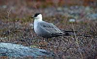 Long-tailed Skua, Photo: Hans Falklind