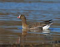 Lesser White-fronted Goose, Photo: Stefan Oscarsson