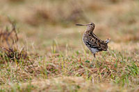 Great Snipe, Photo: Magnus Martinsson