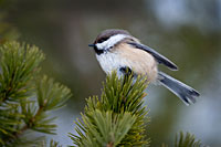 Siberian Tit, Photo: Hans Falklind