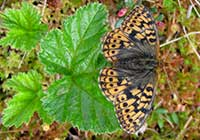FRIGGA*S FRITILLARY, Photo: Daniel Green
