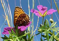 GLANVILLE FRITILLARY, Photo: Daniel Green