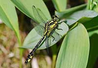 COMMON CLUBTAIL, Photo: David Andersson