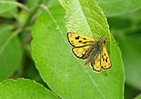 NORTHERN CHEQUERED SKIPPER, Photo: Daniel Green
