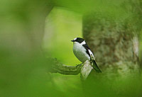 Collared Flycatcher, Photo: Magnus Martinsson