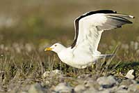 Baltic Gull, Photo: Magnus Martinsson