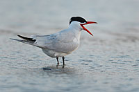 Caspian Tern, Photo: Magnus Martinsson