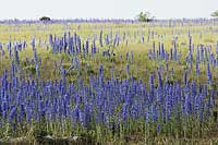 Viper's-bugloss, Photo: Magnus Martinsson