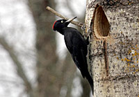 BLACK WOODPECKER, Photo: Glyn Sellors