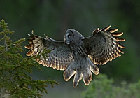 GREAT GREY OWL, Photo: Stefan                    Oscarsson