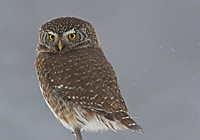 PYGMY OWL, Photo: Graham Catley