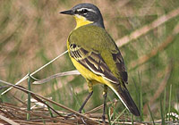 Yellow Wagtail, Photo: Graham Catley