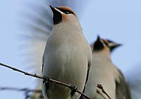 WAXWINGS, Photo: Hans Bister
